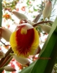 Shell Ginger (Alpinia zerumbet)