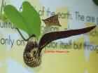 Dutchman's Pipe Aristolochia ringens
