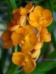 Ascocenda Viboon Sunset Orchid Hybrid