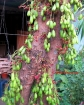 Cucumber Tree (Averrhoa bilimbi)