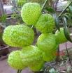 Balloonplant (Asclepias physocarpa)