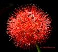 Blood flower, Scadoxus multiflorus, Fireball lily