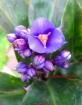Blue Ginger, Blue Bamboo (Dichorisandra thyrsiflora)