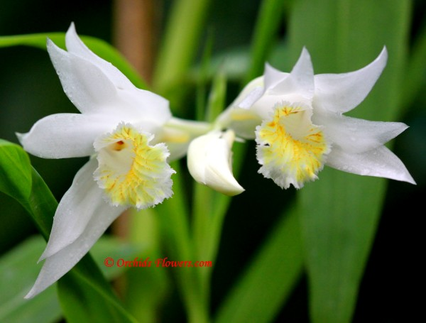 Thunia alba (Lindl.) Rchb. f. 1852