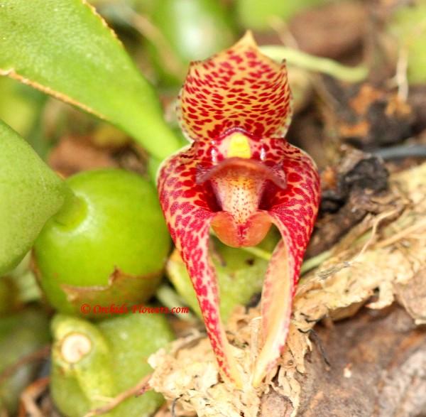 Trias disciflora (Rolfe) Rolfe 1896