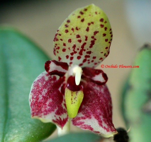 Miniature Orchid Trias nummularia