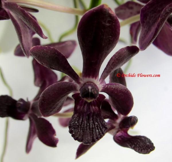 Black Orchid Vandachostylis Colmarie Black Beauty