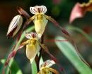 Paphiopedilum philippinense