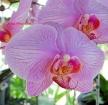 Phalaenopsis Eleanor Yates