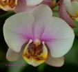 Phalaenopsis Glad Dawn Orchid Hybrid