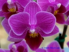 Phalaenopsis Taida Super Jewel