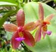 Phalaenopsis × valentinii
