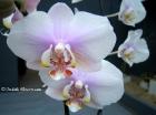Phalaenopsis Princess Chulabhorn