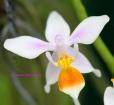 Phalaenopsis equestris var. ilocos