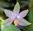 Phalaenopsis violacea fo. coerulea