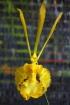 Psychopsis Mariposa var.alba