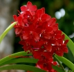 Vanda Crownfox Red Delicious